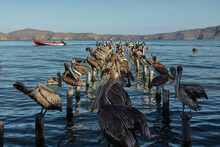 Scene Of Pelicans Resting In T...