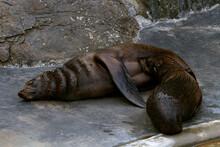 Fur Seal Lies On The  ZOO. Mom...