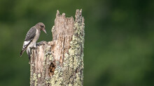 Juvenile Red Headed Woodpecker...