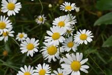 Beautiful Daises In A Garden, Closeup