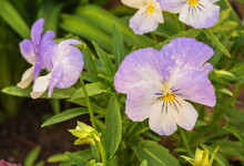 Delicate Purple Pansy Flowers