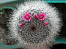 Pink Cactus Flower With Thorns