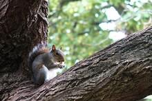 Squirrel Sitting On A Tree Bra...