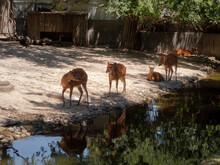 Fawns Reflected In The Water Of A Pond