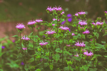 Monarda Flowers, Wild Bergamot, Close-up. Purple Bright Garden Flowers On A Background Of Green Leaves. Horticultural Flowering Plant