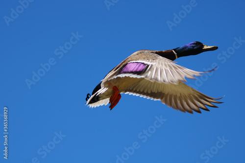 Valokuva mallard duck in flight with a blue sky background