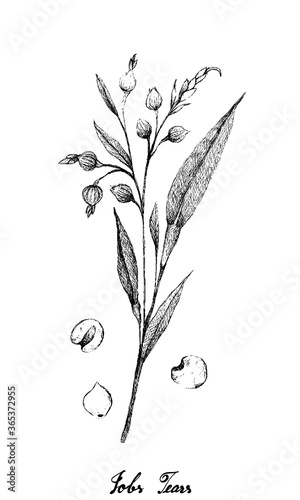 Fotografie, Obraz Illustration Hand Drawn Sketch of Job's Tears, Coixseed, Tear Grass, Hato Mugi, Adlay or Adlai Isolated on White Background