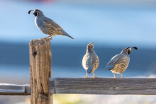 Male And Female Quail Perched ...