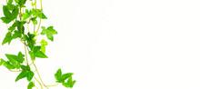 Star-shaped Vine Houseplant And White Wall Background Material. 星形のつる性の観葉植物と白い壁の背景素材