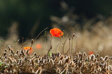 Meadow And Wildflowers In Isra...