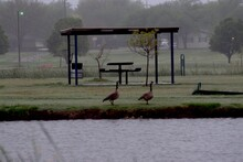 Canada Goose Pairs With Goslings, South East City Park Public Fishing Lake, Canyon, Texas.