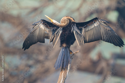 The Oriental darter or Indian darter (Anhinga melanogaster) preening itself by t Canvas-taulu