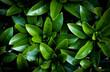Soczyste zielone liście rododendrona jako tapeta lub tło. Liście rośliny egzotycznej w ogrodzie.