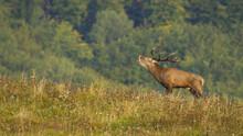 Majestic Red Deer, Cervus Elap...