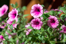 Petunia Flowers Bloom, Petunia Blossom, Petunia Flowers In Garden.Close-up Of A Flowerbed With Multi-colored Petunias.