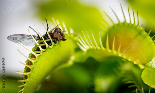 Valokuvatapetti a unlucky common house fly being eaten by a hungry venus fly trap plant