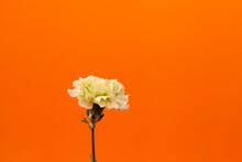 A Green Carnation Flower Isola...