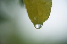 Goute D'eau Tombant D'une Fleur