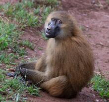 Monkey Guinea Baboon Sitting On The Ground