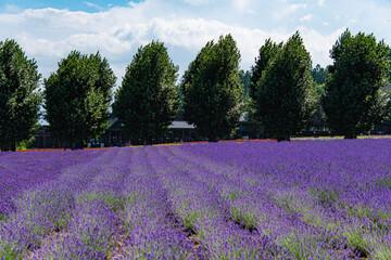 Fototapeta Lawenda 7月ファーム富田ラベンダーの風景