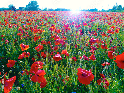 Fotografie, Obraz Large field of red poppy flowers in early summer