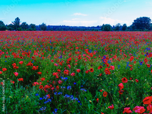 Obraz na plátně Large field of red poppy flowers in early summer