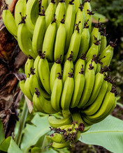 Unripe Green Bunch Of Bananas On A Tree