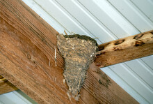 Barn Swallows Have Used Mud And Feathers To Build Their Nest On The Wooden Rafters Of A Barn In Southwest Missouri.