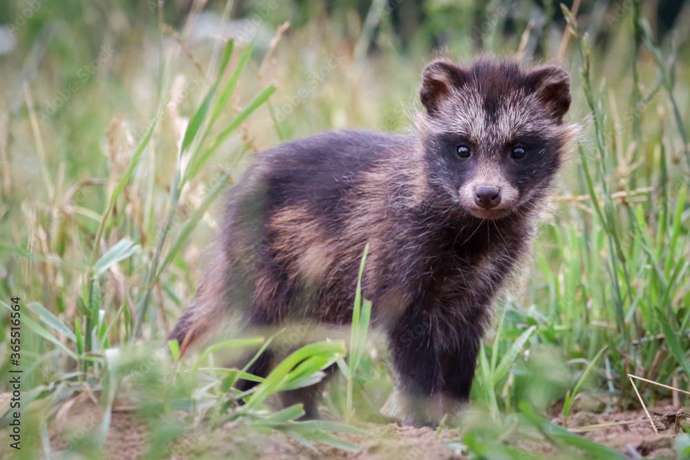 Fototapeta Młody jenot obserwujący okolice na zielonej łące
