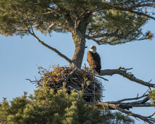 A Bald Eagle Looks On While Sitting Next To Its Very Large And Sturdy Nest In The Boreal Forest Of Northwest Ontario, Canada.