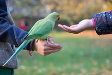 Green Parrot Sitting On A Man's Hand