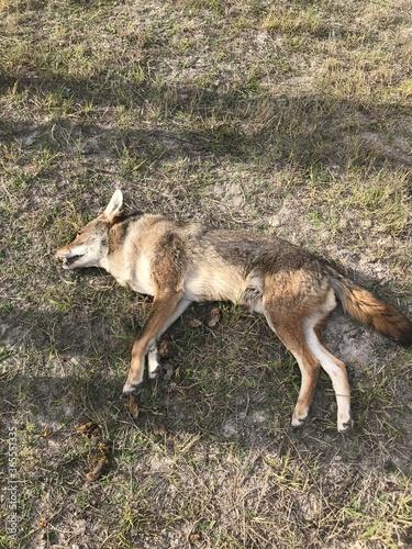 Slika na platnu Dead coyote.