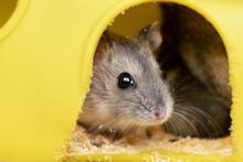 Small Gray Jungar Hamster Rat ...