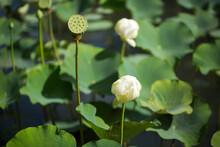 Shower Shaped Faded Lotus Flower In Sir Seewoosagur Ramgoolam Botanical Garden, Pamplemousse, Mauritius