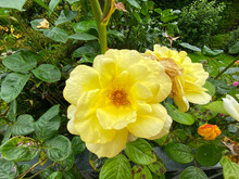 A Yellow Rose And Green Leaves...