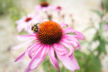 A  Bumblebee  On  A Pink Echinacea, Coneflower. More Coneflowers Can Be Seen In The Background In Soft Focus.