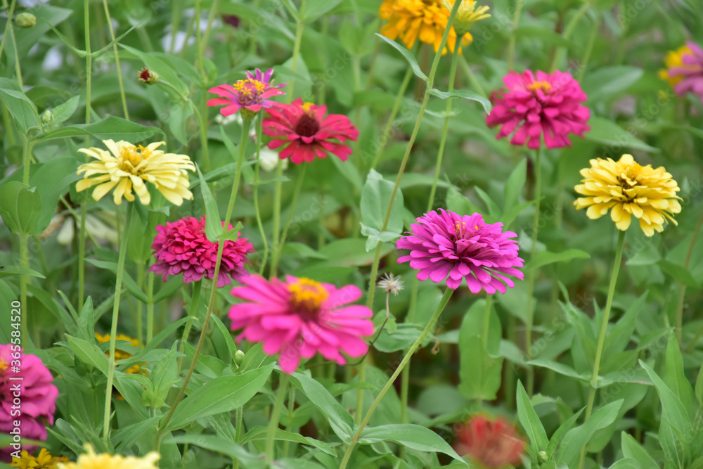 Zinnia flowers with natural blurred background.
