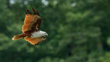 Brahminy Kite Flying With Blur...