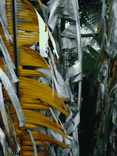 Close Up Dried Banana Leaves. Foliage, Abstract.