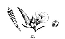 Vegetable, Illustration Of Hand Drawn Sketch Okra Or Lady Finger Plants With Buds And Okra Baby Isolated On White Background.