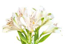 Flower Of Alstroemeria Or Peru...