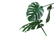 Big Leaves Of Monstera On An A...