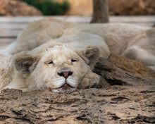A Sleepy White Lion With Narrowed Eyes Lies On A Rock And Rests