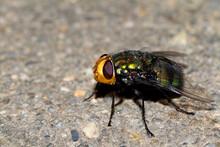Australian Blowfly Resting.