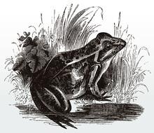 Common Frog, Rana Temporaria I...