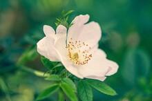 Closeup Shot Of A White Rosa Rubiginosa Flower