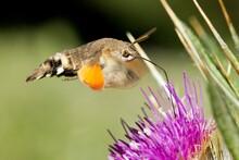 Closeup Pf A Hummingbird Hawk Moth Gathering Nectar From A Purple Flower Against A Blurry Meadow