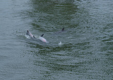 Dolphins Playing In Beautiful Captiva And Sanibel Island