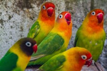 Cute, Adorable And Colourful Love Bird Parrots