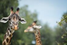 Giraffe With A Friend